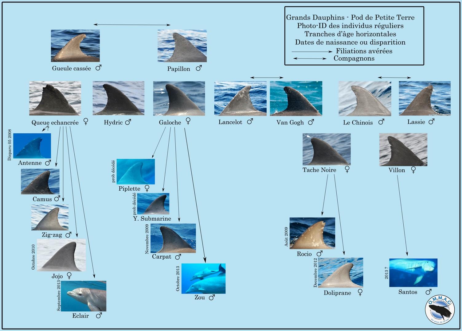 les dauphins de Guadeloupe